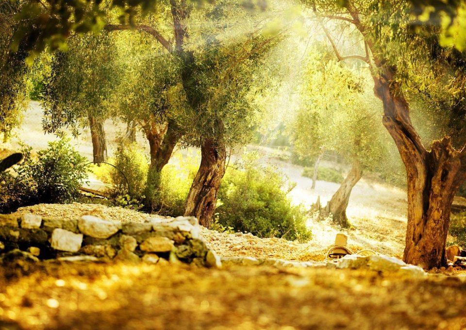 olivetree-highres