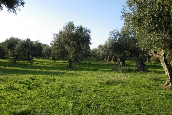 Olive varieties and groves14